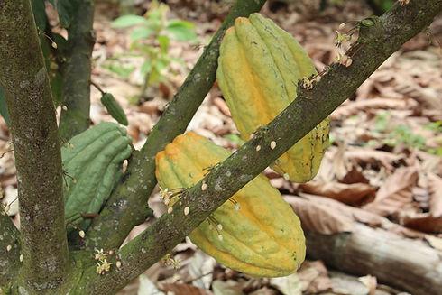 chocosapiens-cocoa-arriba-tree-fruit-ecu