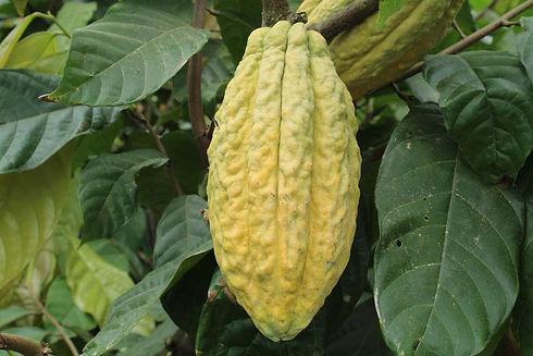 chocosapiens-cocoa-fruit-yellow.jpg