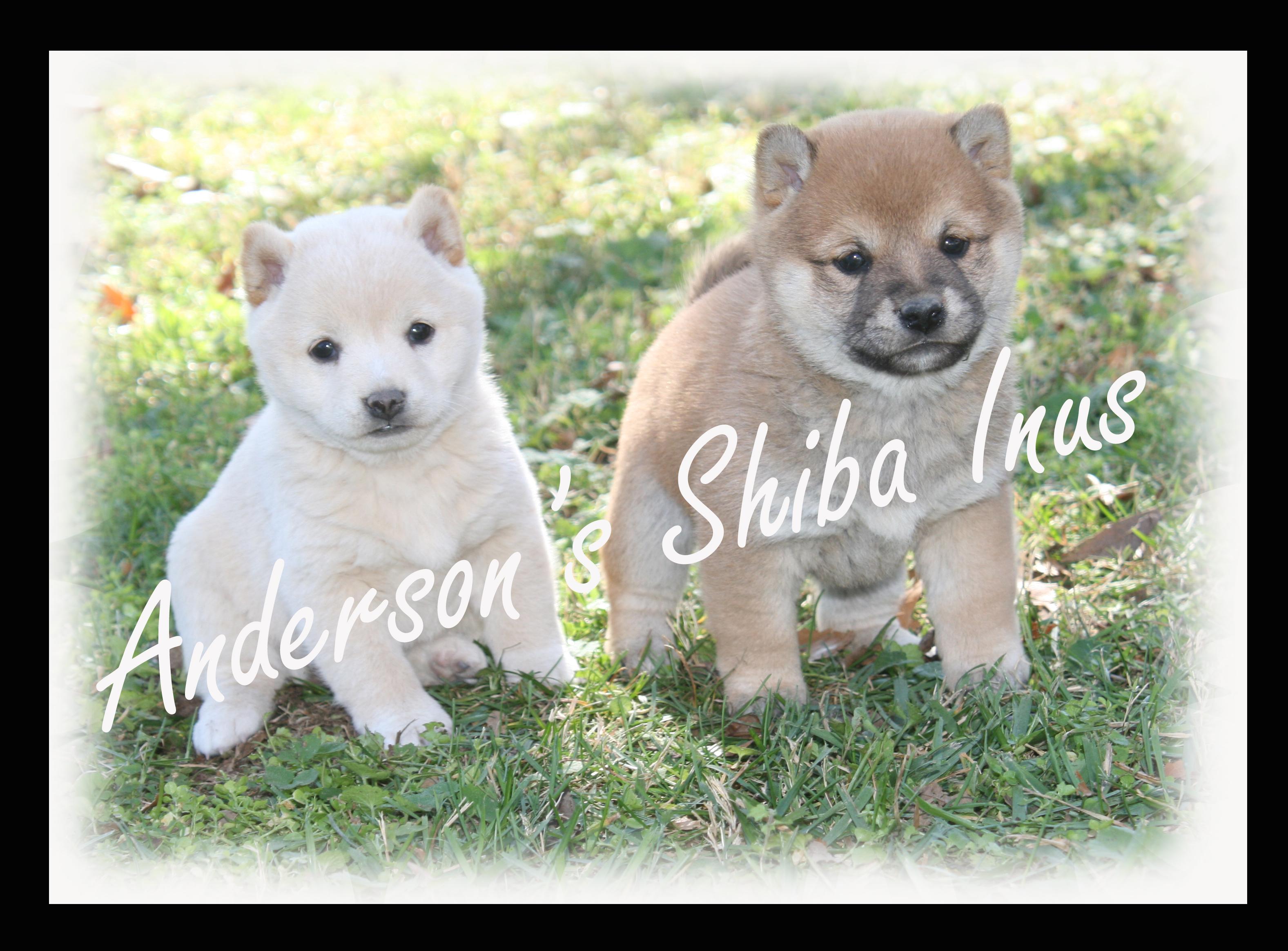 Shiba+Inus
