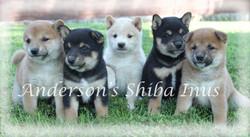 shibainu puppies