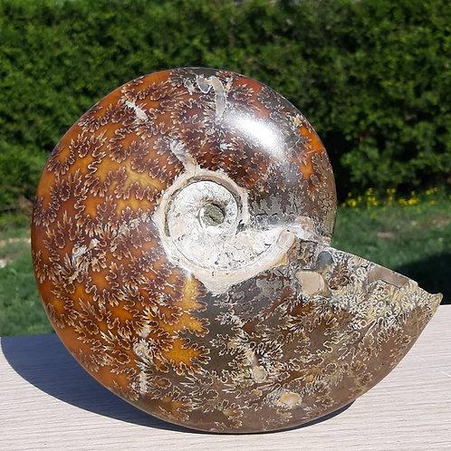 Ammonite Aioloceras besairei  Madagascar