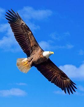 bald-eagle-flying-joe-granita.jpg