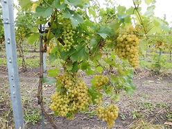 Druiven Woest1B.jpg