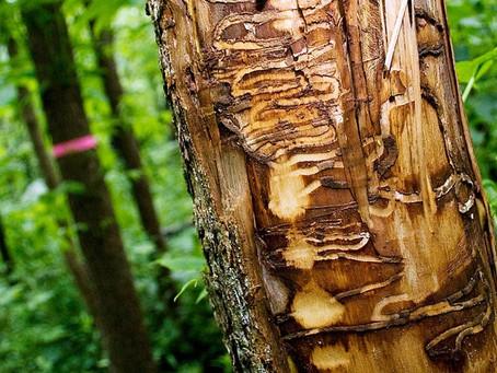 Ash Forests After Emerald Ash Borers Destroy Them