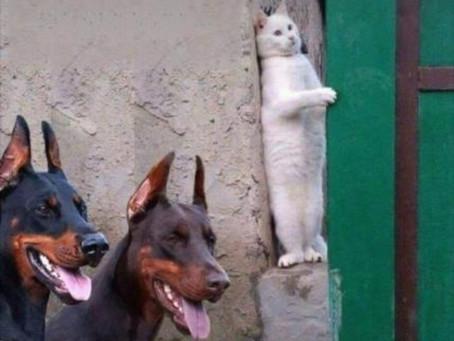 MENTIRAS DA INTERNET: Gato aparece em foto se escondendo de dobermans! Será verdade?