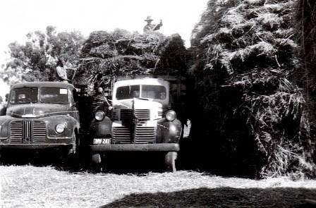 Carting hay 1953.JPG