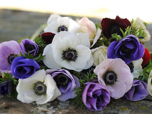 Growing Ranunculus & Anemones