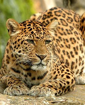thoiry_leopard_g.jpg