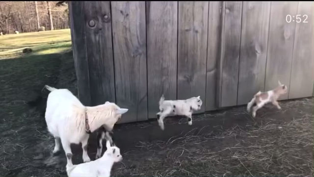 Baby Goat Crash with Jack, Cookie and co.
