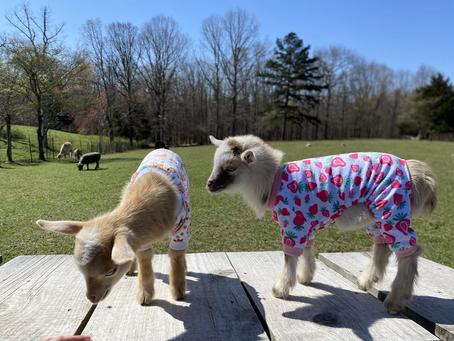 Baby Goat Crash
