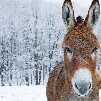 Miniture Donkey