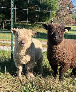 Southdown Baby Doll Sheep