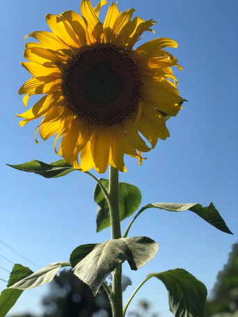 SweetCreek Sunflower - from FB.jpg