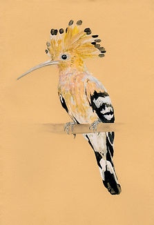 hoopoe small.jpg