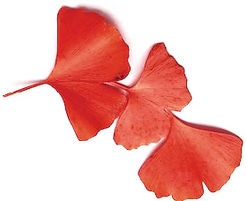 red-ginkgo-leaves-showing-color-260nw-53