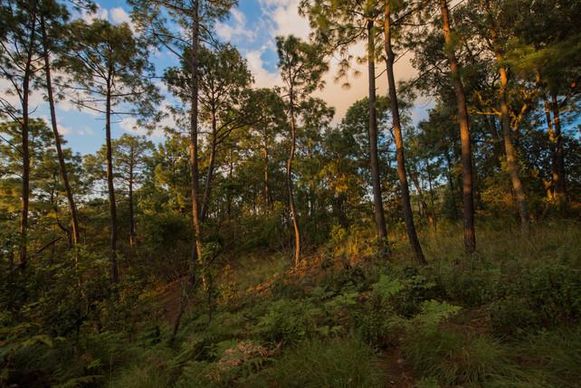 Bosque de Sierra Mazati