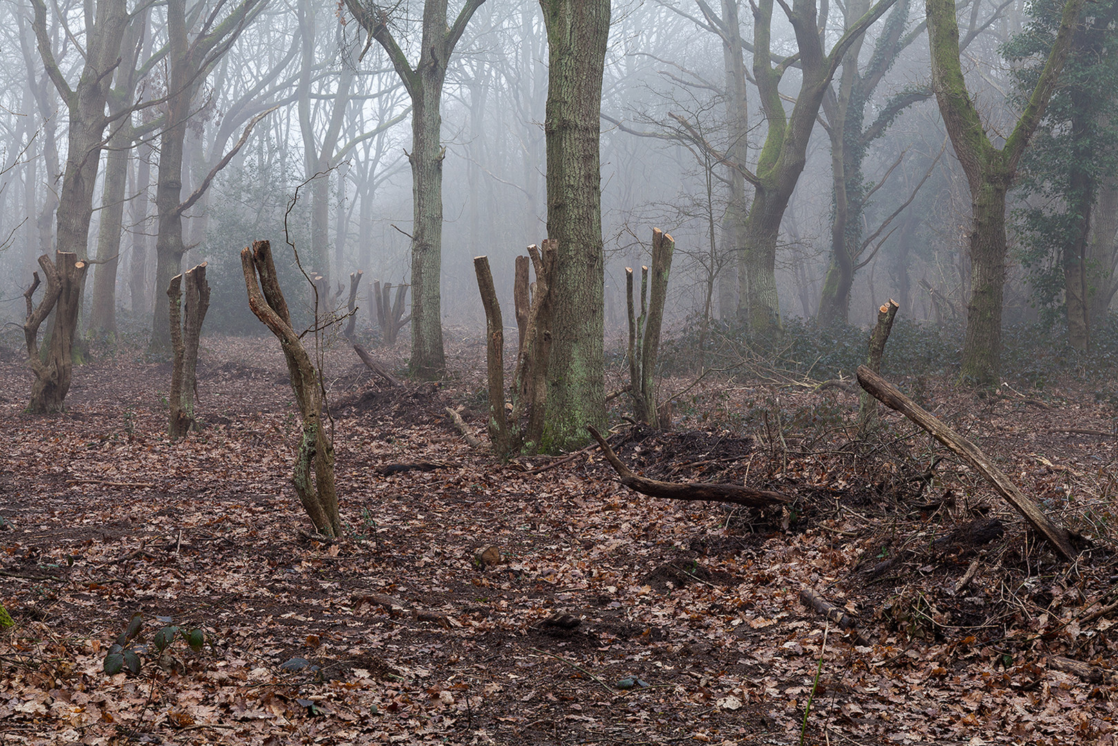 Lopped tree branches in front of mistly woodland, Wimbledon Common, London, England, UK.
