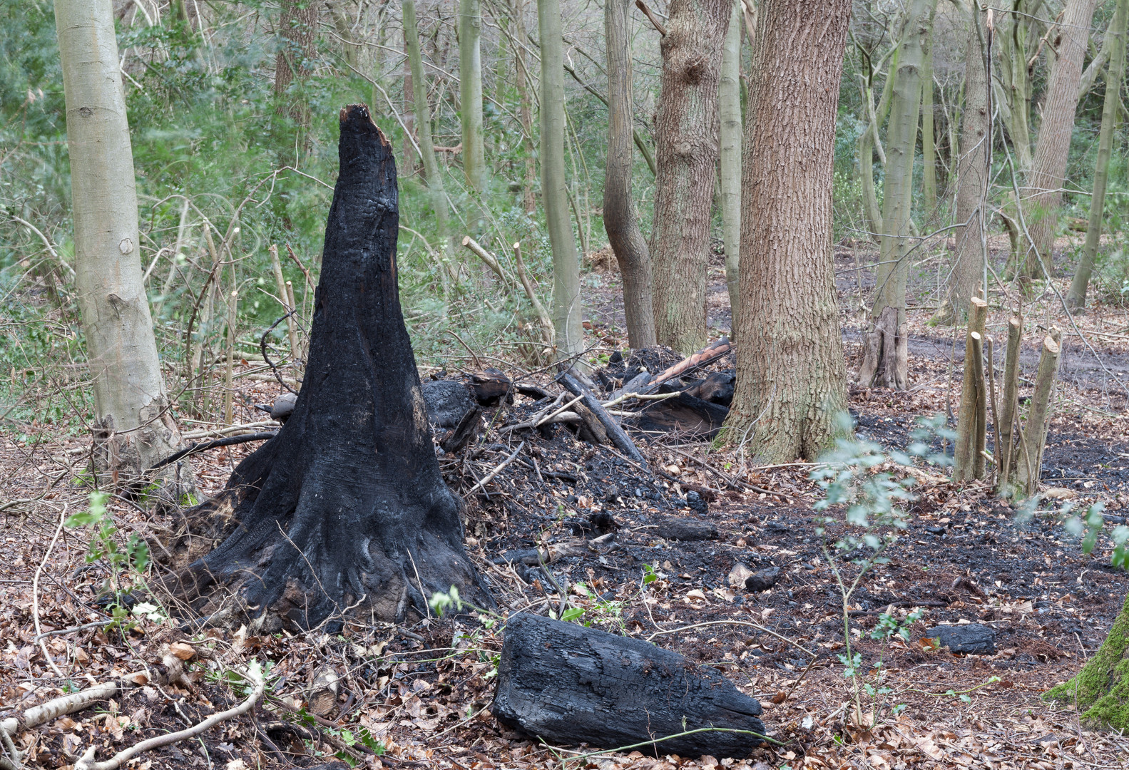 Charred and burnt tree stump, Wimbledon Common, London, England, UK