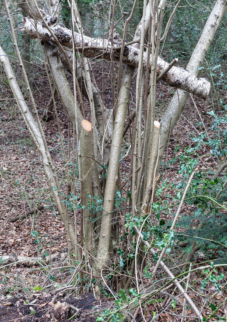 Silver Birch log between saplings, Wimbledon Common, London, England.