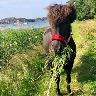 Islandshästen Tivve