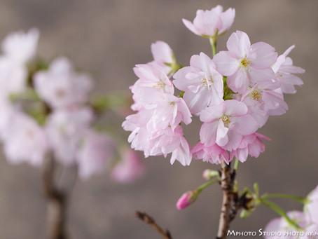 もうひとつの桜盆栽