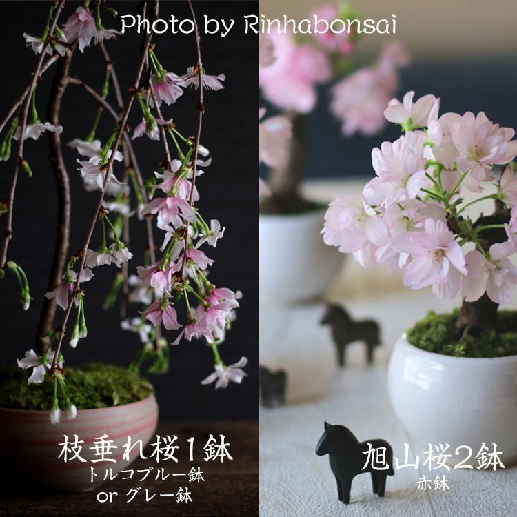 桜盆栽&スタイリング撮影