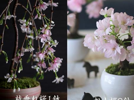 【お知らせ】桜盆栽創り&スタイリング撮影コラボイベント