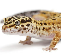 leopardgecko.jpg