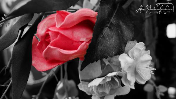 Black and white colour roase.jpg