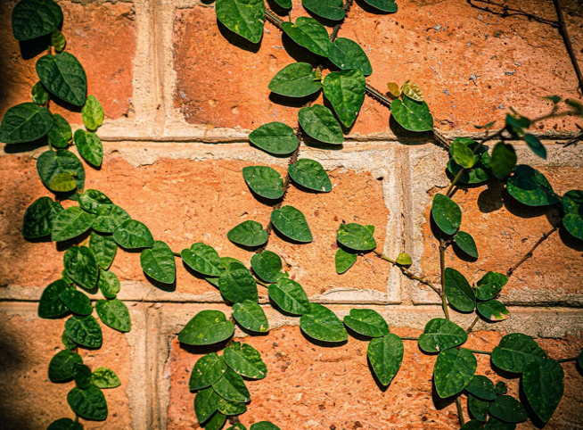 နံရံပေါ်နွယ်တက်လျက်ရှိသည့် အပင်များ