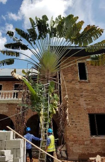 အုန်းငှက်ပျောပင်အား ပြန်လည်စိုက်ပျိုးခြင်း