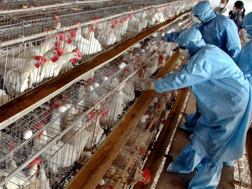 BIRD FLU OUTBREAK: SEVEN FARMS AFFECTED SO FAR IN GHANA