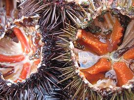 sea-urchins-1177788_1280.jpg
