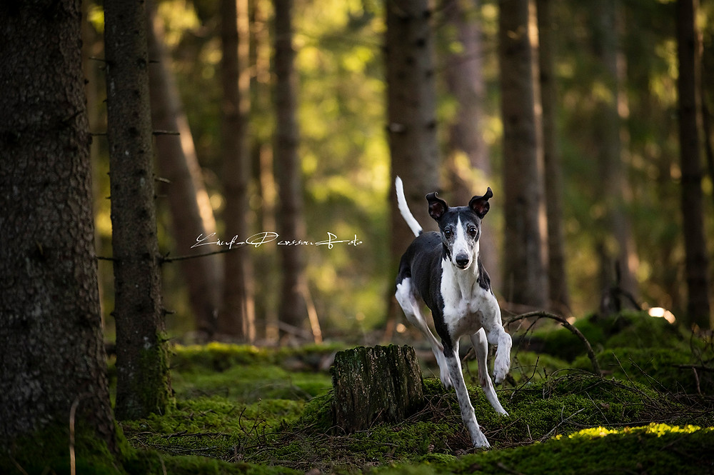 Whippet hunden Frost i full gallop