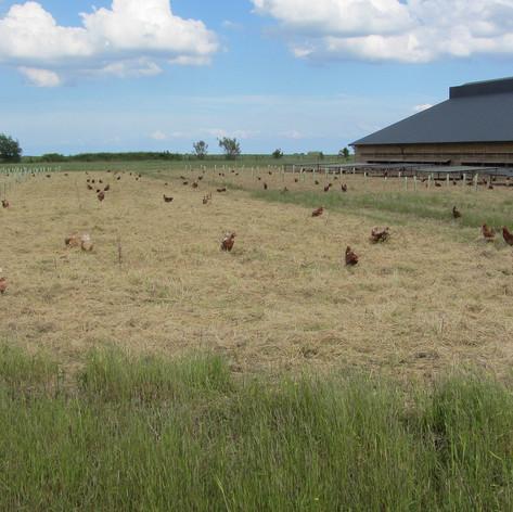 Laying hens and tree silvopasture