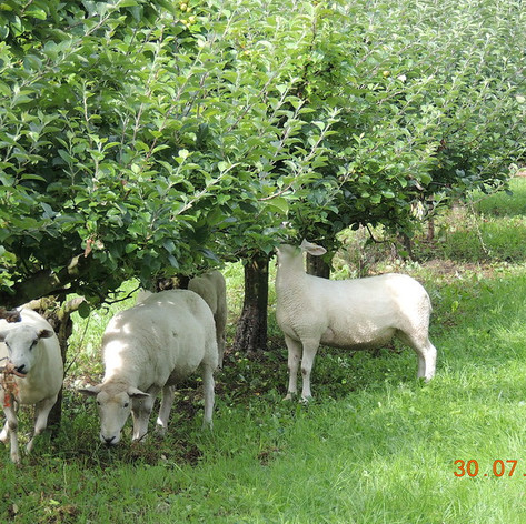 Apple orchard with sheep grazing