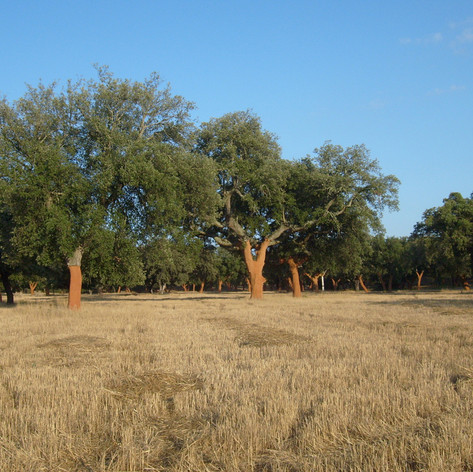 Cork oak and cereal inter cropping