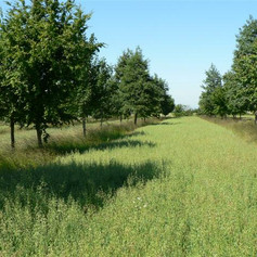 Oats and mixed wood alley cropping
