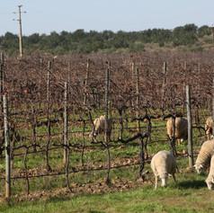 Sheep grazing vineyard