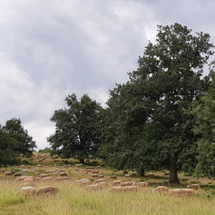 Hungarian wood pasture with sheep and native trees