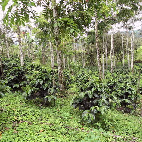 Coffee and rubber intercropping