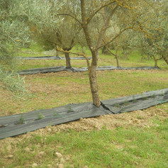 Asparagus and olive intercropping