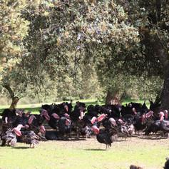 Holm oak and turkey silvopasture
