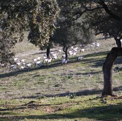 Oak montado and goats grazing