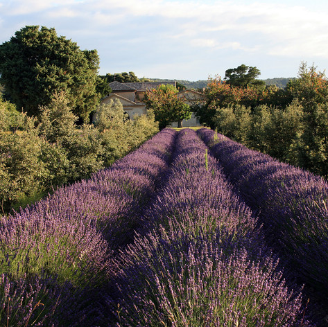Oak tree and lavender alley cropping
