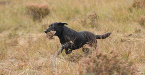 Wuffitmix Available In Ireland Through Top Gundog Trainer