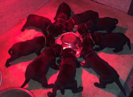 Burrendale Lucy x Int. FTCH Miller McDuff Puppies Still Available...