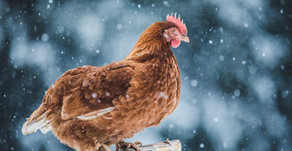 Caring For Your Chickens This Winter 🐔