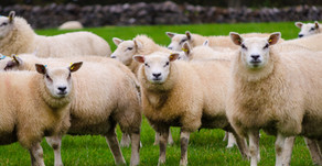 Ewe Nutrition Special