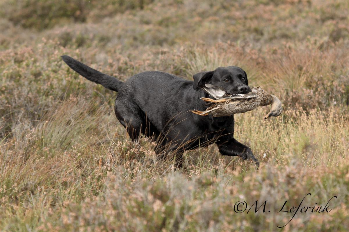 Gundog Training Lancashire